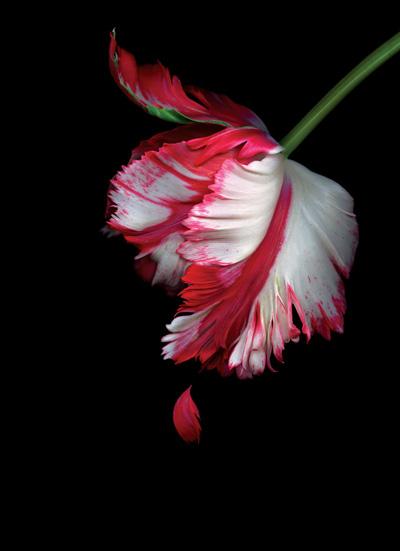 爱似罂粟,伤透心